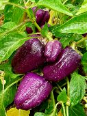 purple sweet peppers ripening in a kitchen garden