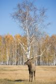 Deer And Birch
