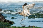 Whimbrel Landing In A Tidal Pool