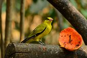 Female Black-naped Oriole (oriolus Chinensis)
