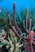 image of erection  - Coral reef erect rope sponge Amphimedon compressa - JPG