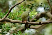 Female Pink-necked Green-pigeon (treron Vernans)