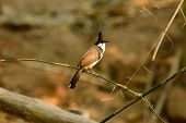 pic of bulbul  - beautiful Red - JPG