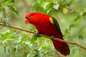 image of rainforest animal  - beautiful Chattering Lory  - JPG