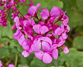 dark pink geranium flowers closeup