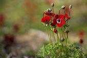 Blooming anemones, spring, Israel