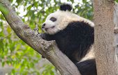 Young Giant Panda Sleeping in a Tree