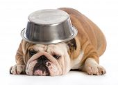 hungry dog - english bulldog laying down with dog bowl on head on white background