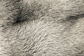 Texture From Fur Of Gray-beige Color