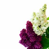 Flower isolated lilac branch .