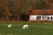 Alter Bauernhof, Vieh vor
