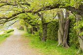 Covered with tender green leaves of spring cherry trees trail next to Kamogawa, Kyoto, Japan