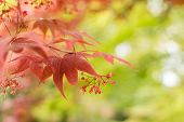 Close-up of red maple leaves in Kyoto.