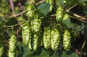 Hanging bunches of hops on a sunny day