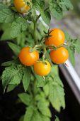 Yellow tomato growing in balcony
