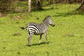 Burchell's Zebra In A Meadow