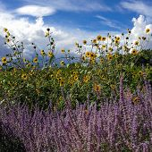 lavender and sunflowers
