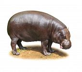 Hilarious Hippo isolated on a white background.