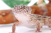 Young Leopard Gecko, Eublepharis. Tropical Lizard