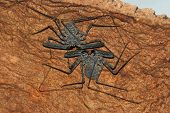 Tailless Banded Whip Scorpions