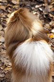 German spitz dog close-up on autumn leaves