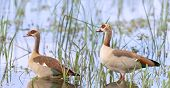 stock photo of baby goose  - Egyptian goose family go for a swim on their own in dangerous wild water - JPG