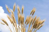 Barley like a fan