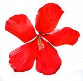 Hibiscus Syrian