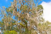Spanish Moss Is A Southern Tree