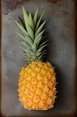 High angle view of a fresh picked pineapple laying on its side on a metal baking sheet. The fruit is