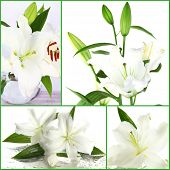 Collage of beautiful white lilies