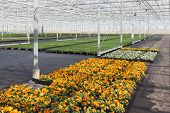 Cultivation Of Colorful Violets In A Dutch Greenhouse
