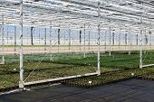 Cultivation Of Indoor Plants In Dutch Greenhouse