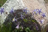 foto of columbine  - Clump of Rocky Mountain blue columbines facing in every direction - JPG