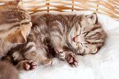Funny Sleeping Baby Cat Kitten In Wicker Basket