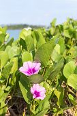 stock photo of ipomoea  - Beach Morning Glory  - JPG