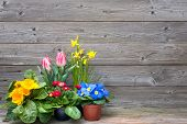 spring flowers in pots on wooden background. Tulips, primulas, daffodils