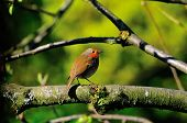 Robin On A Branch.