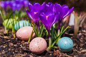 Purple crocus flowers and Easter eggs in a garden setting.