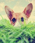foto of corgi  -  cute dog at a park toned with a retro vintage instagram filter effect app or action  - JPG