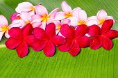 Pink And Red Frangipani Flowers