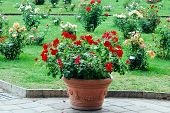 Red Flowers In The Garden In Rome City