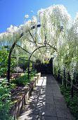 stock photo of plant species  - christchurch botanical gardens new zealand is the home of this beautiful wisteria arch established in the english garden style the garden mixes native forest with planted species - JPG