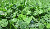 raindrops on shamrock leaves