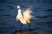 Great Egret in Mallorca, Spain