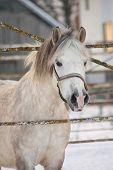 Beautiful Shetland Pony Portrait In Winter