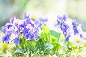 foto of viola  - beautiful close up Violet  - JPG