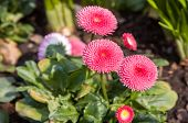 Three Bright Pink Flowers