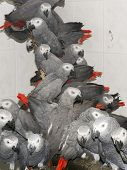 Crowd Of Confiscated African Grey Parrots (psittacus Erithacus)