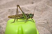 migratory locust (Locusta migratoria) rests on the shovel